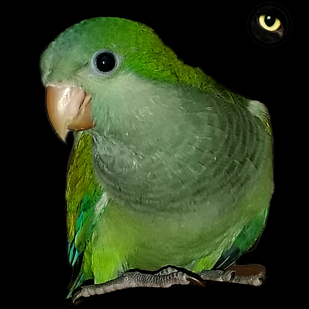 Curiosidades Y Respuestas A Todas Tus Preguntas Cotorro Aves Bonitas Aves