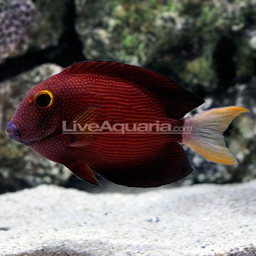White Tail Bristletooth Tang If I Can Find One Of These I Want It Kind Of Hard To Find Though Saltwater Aquarium Fish Marine Aquarium Saltwater Aquarium