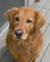 Adopt Sophie Adopted On Dogs Golden Retriever Golden Retriever