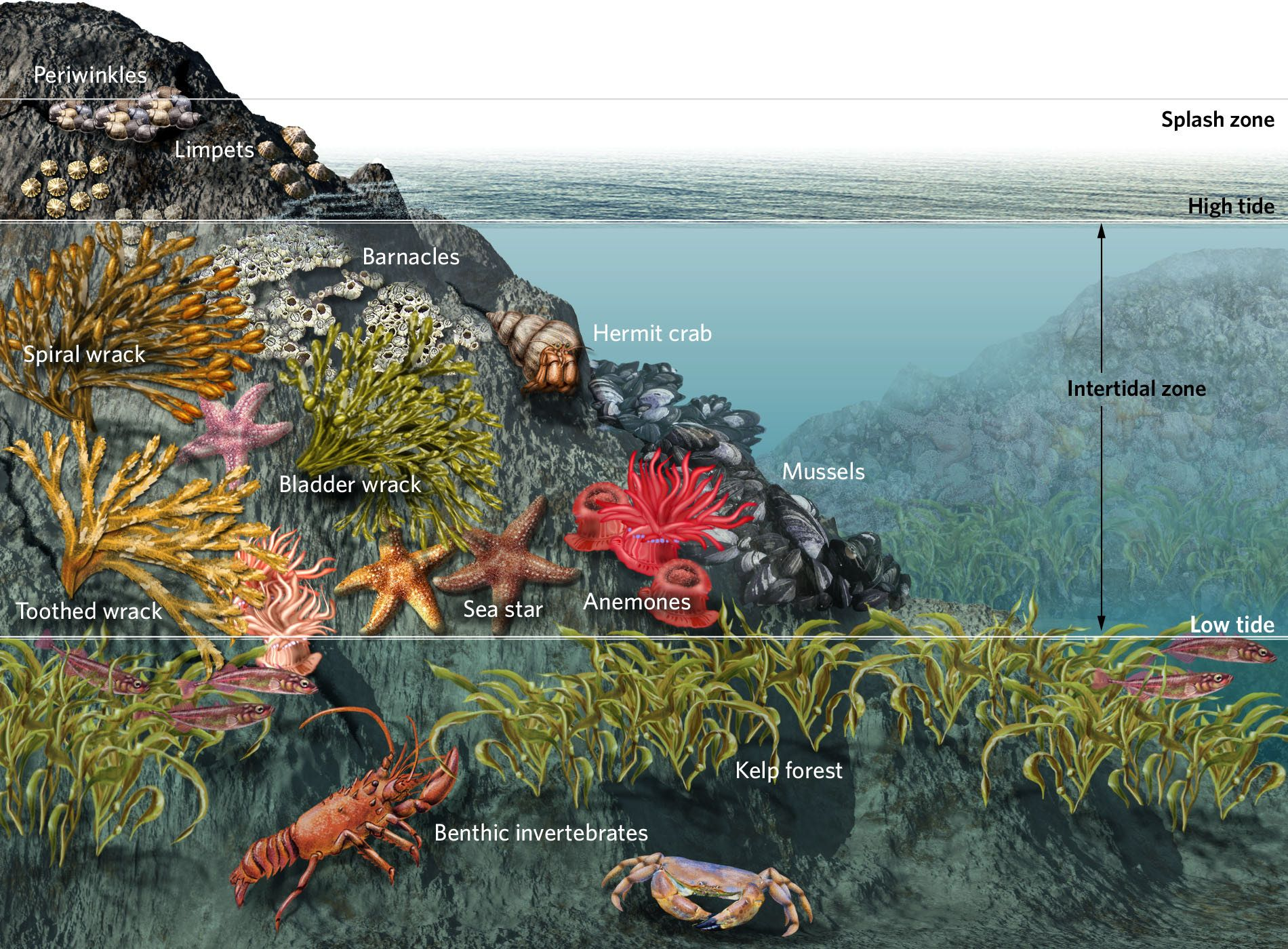 Image Result For Tidepool Food Web
