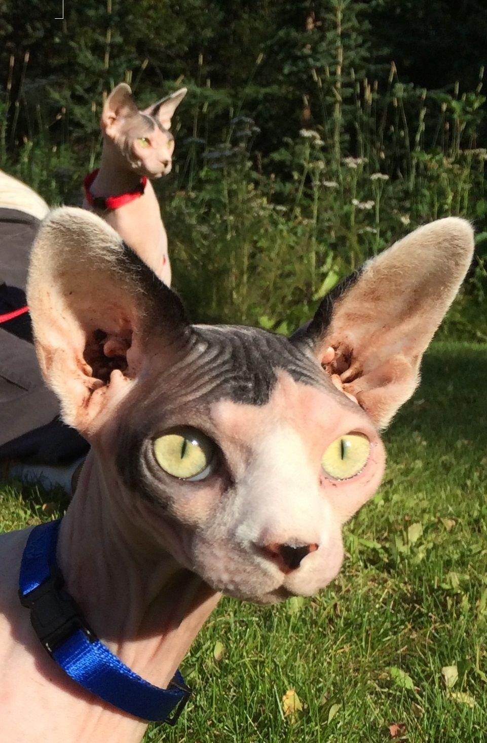 Sphynx in the garden. Cute cats, Sphynx cat, Hairless cat