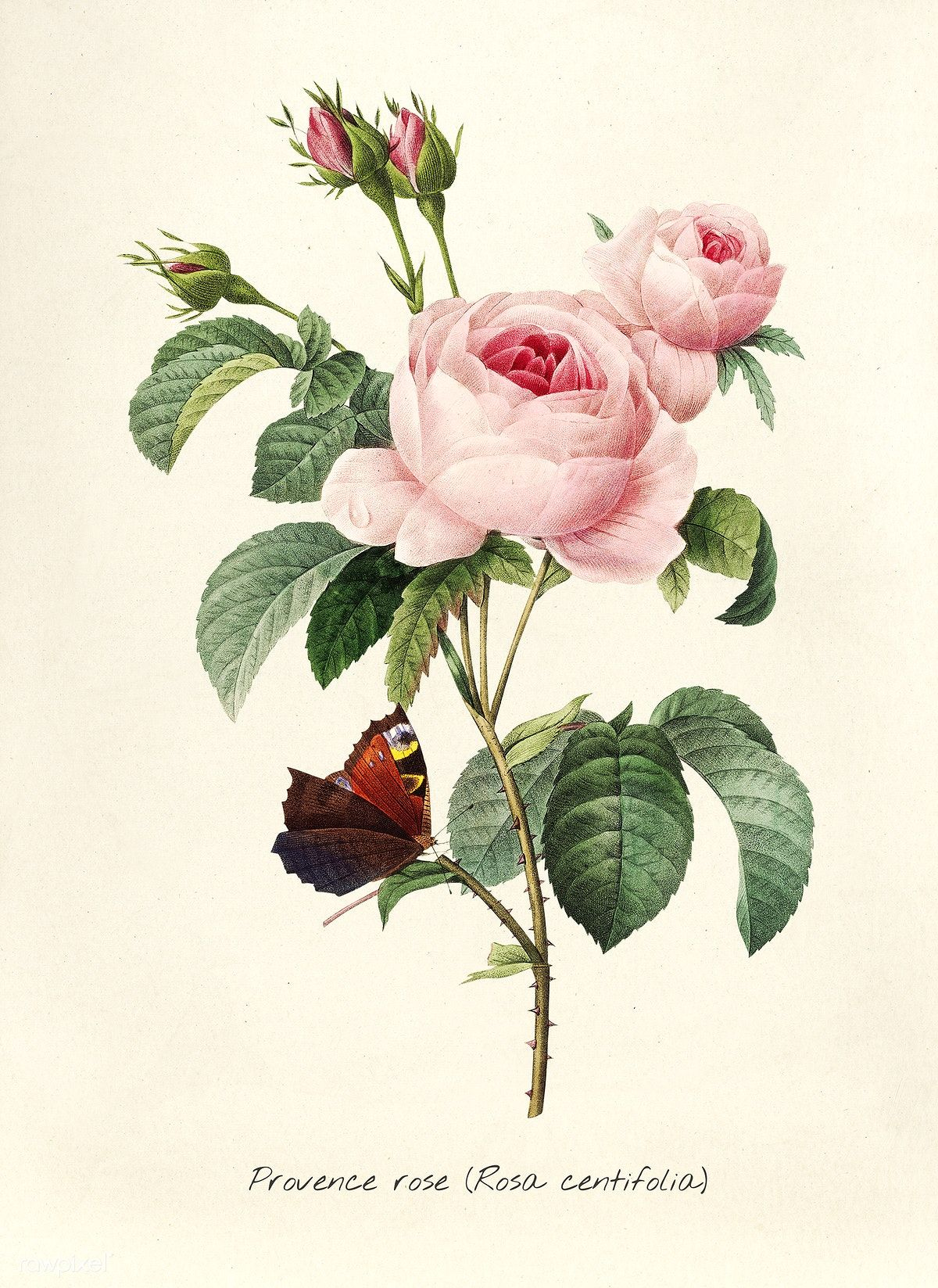 Download Premium Illustration Of Antique Plant Drawn By Pierre Joseph Botanical Drawings Vintage Botanical Prints Plant Drawing