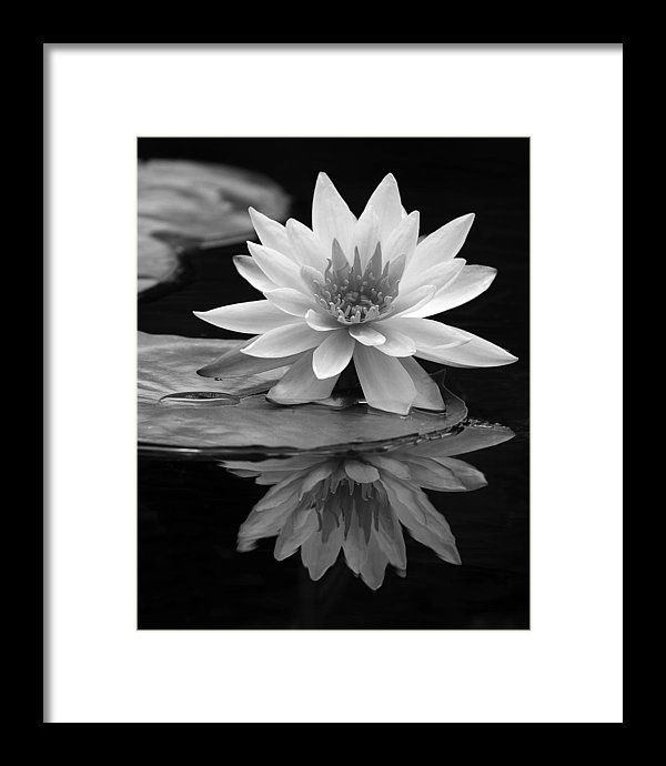 Waterlily Framed Print Featuring The Photograph Water Lily Reflections I By Dawn Currie Blackandwhite Elegant Black And White Flowers Water Lily Art