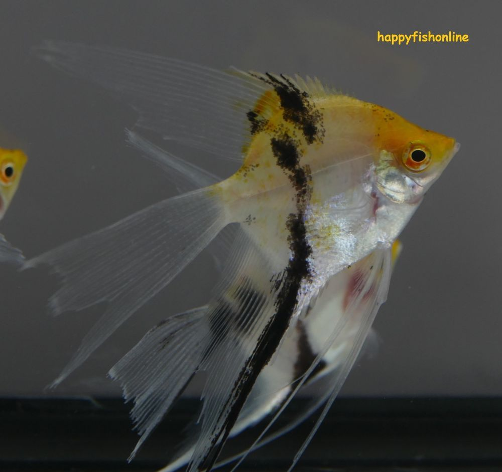 Flash Sale 10 Koi Super Veil Angels These Are Nice Looking Koi Super Veils Angel Fish Fish Pet Breeders