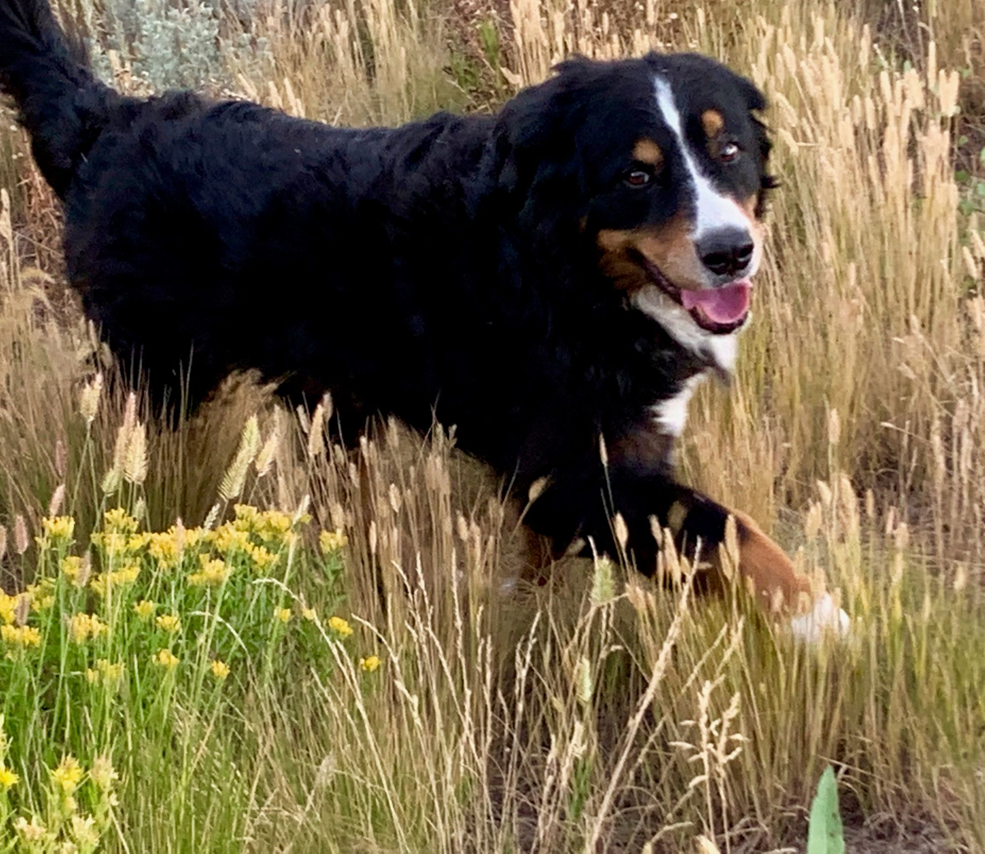 Pin By Hannah Bernese Mountain Dog On Play Time Mountain Dogs Dog Books Bernese Mountain