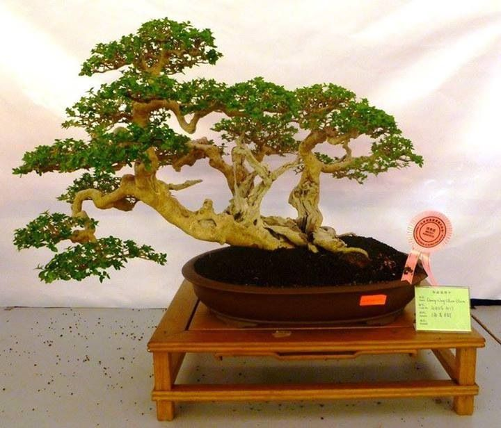 Bonsai tree amazing bonsai trees pinterest for Bonsai hydrokultur