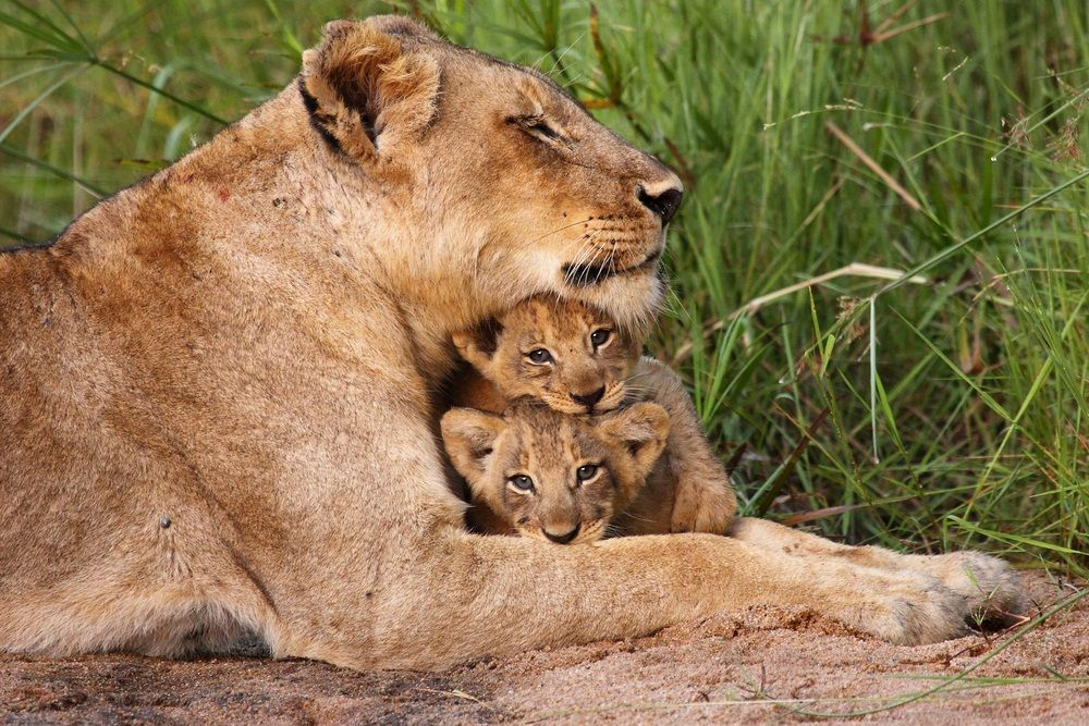 Two baby cubs snuggle with their mother lioness. (David Pusey/ Shutterstock)