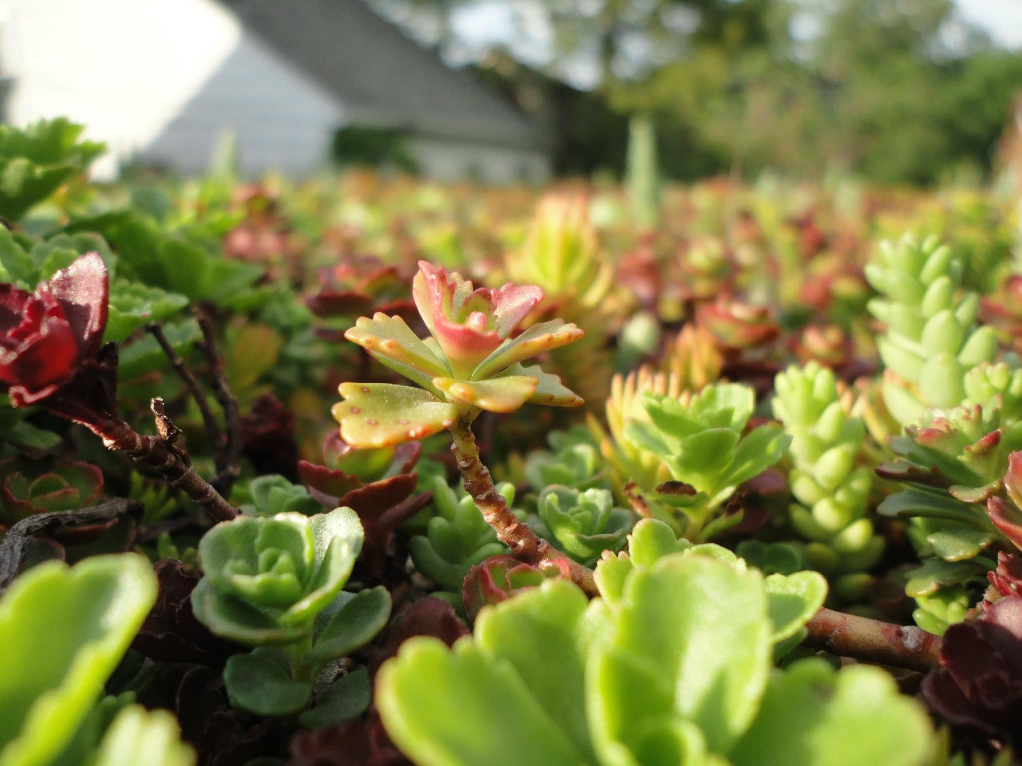 Our Green Roof Succulent Sedum Groene Daken