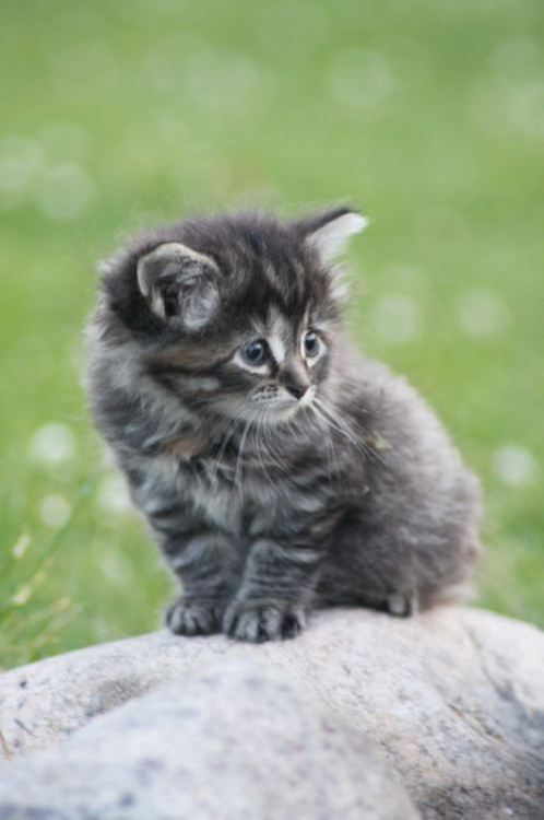 Pin by The Scottish Fold Cat on Kittens Kittens cutest