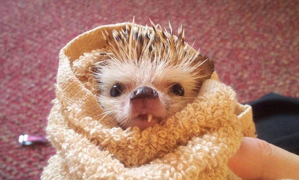 Hedgehog sensation after losing its tooth