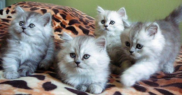 Pin By Schaefdesigns On Unik Dan Lucu Beautiful Kittens Puppies And Kitties Kittens Cutest