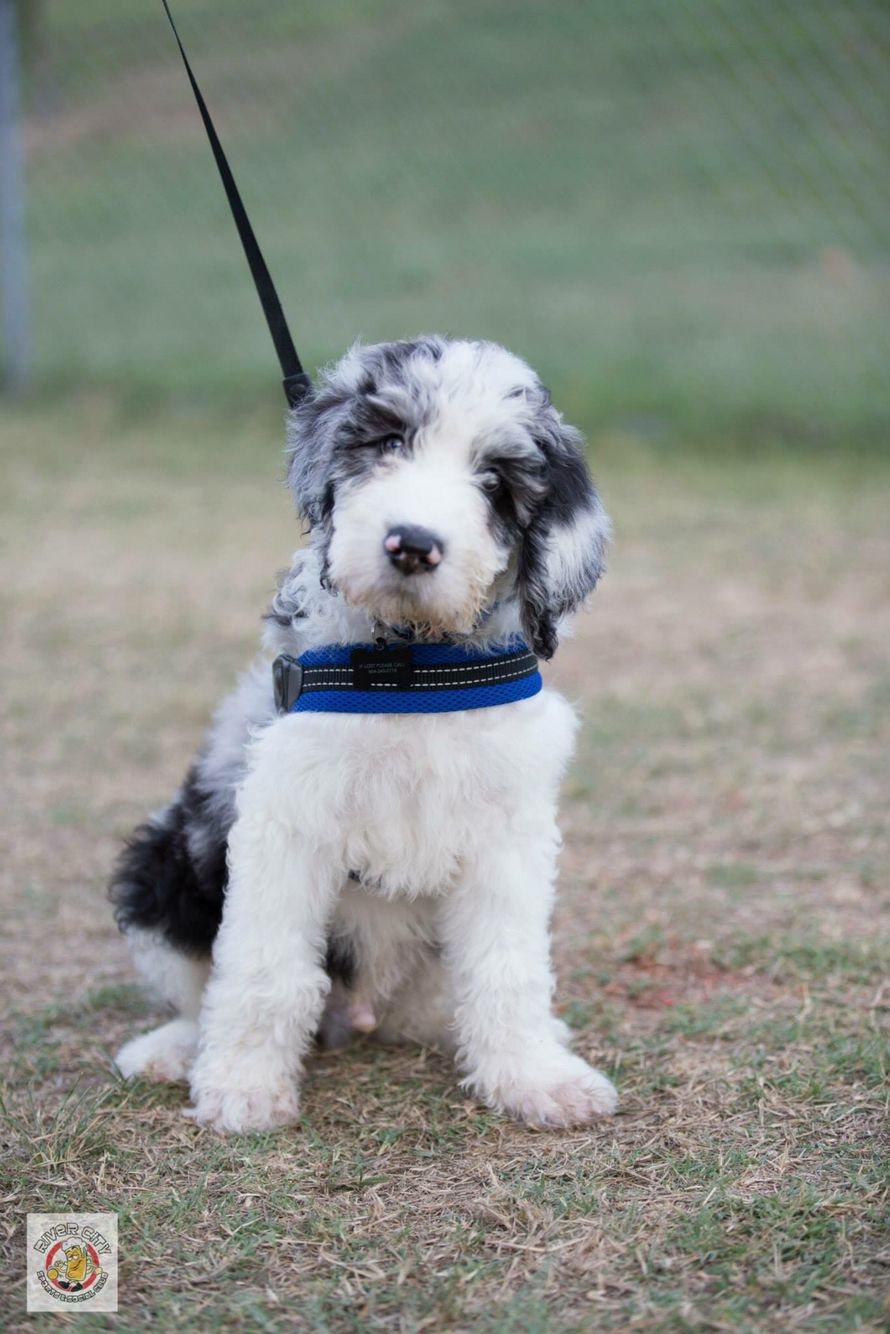 Great Danoodle Puppies For Sale Near Me : great, danoodle, puppies, Great, Danoodle, Puppies, Online
