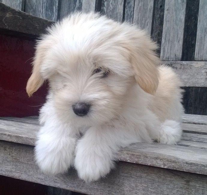 Tibetan Terrier Puppy Tibetan Terrier Cute Dogs Dogs