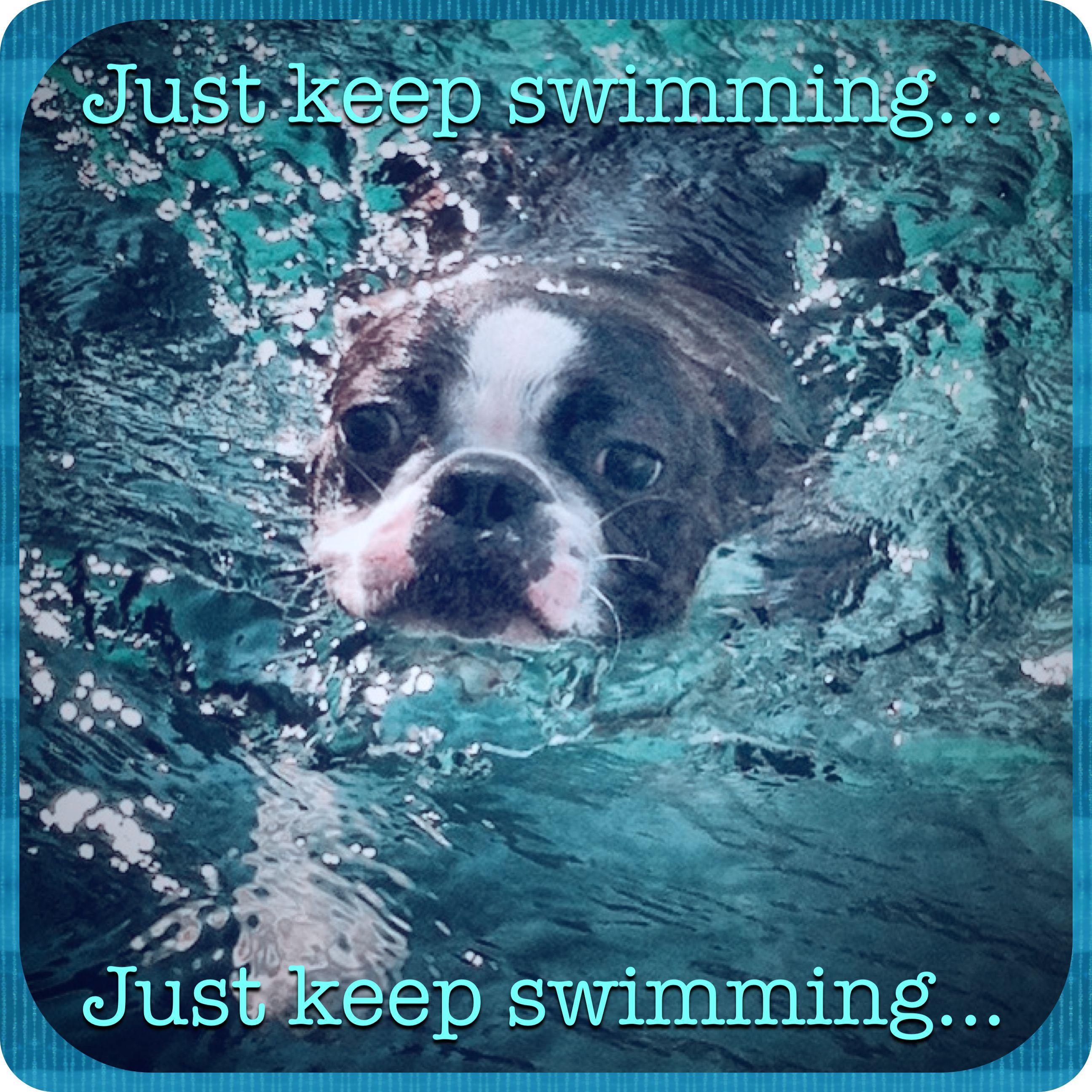 Boston Terrier Swimming Meme