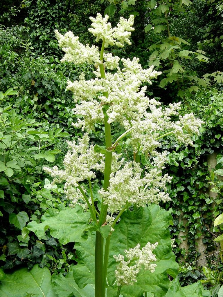 How to plant rhubarb in the fall - Rhubarb Bolting How To Keep Rhubarb From Going To Seed