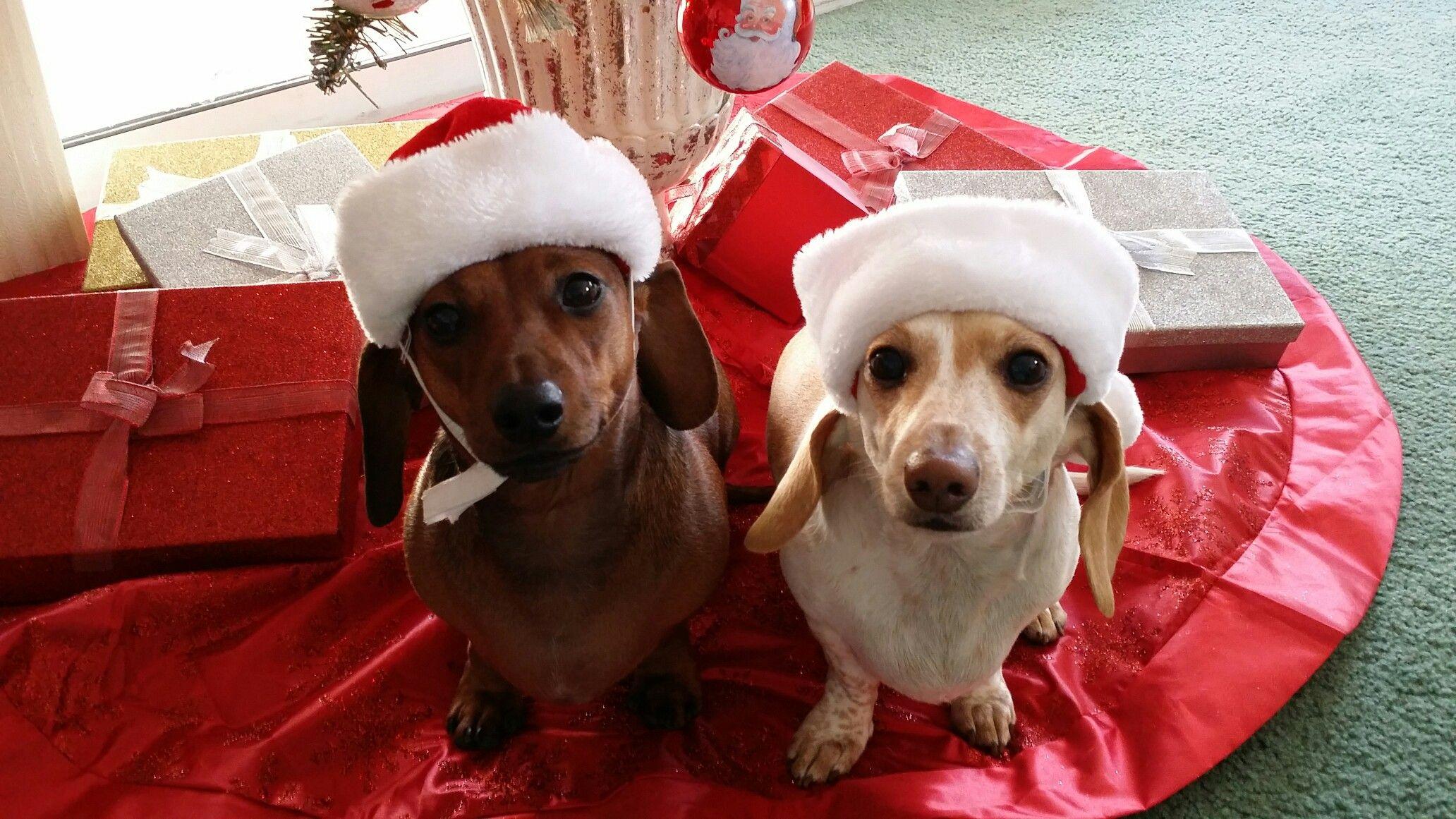 Santa S Little Helpers Baby Dachshund Puppy Heaven Dachshund