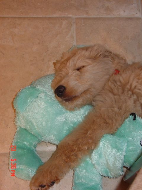 My Dog As A Puppy Love Of My Life Puppies Pup Golden Retriever