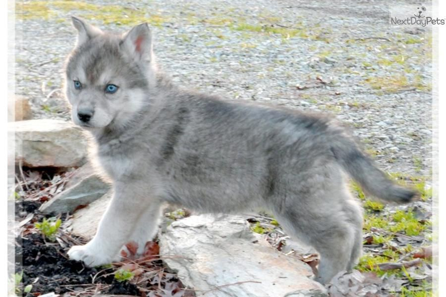 Amazing Wolf Cross Wolf Hybrid Puppy For Sale Near Las Vegas