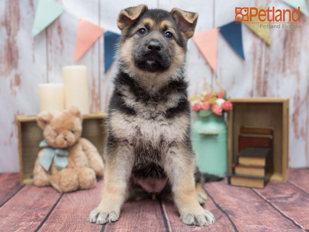 Petland florida has german shepherd puppies for sale