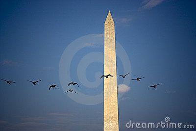 Flock of birds flying past Washington Monument with blue sky background, Washington, D.C, U.S.A.