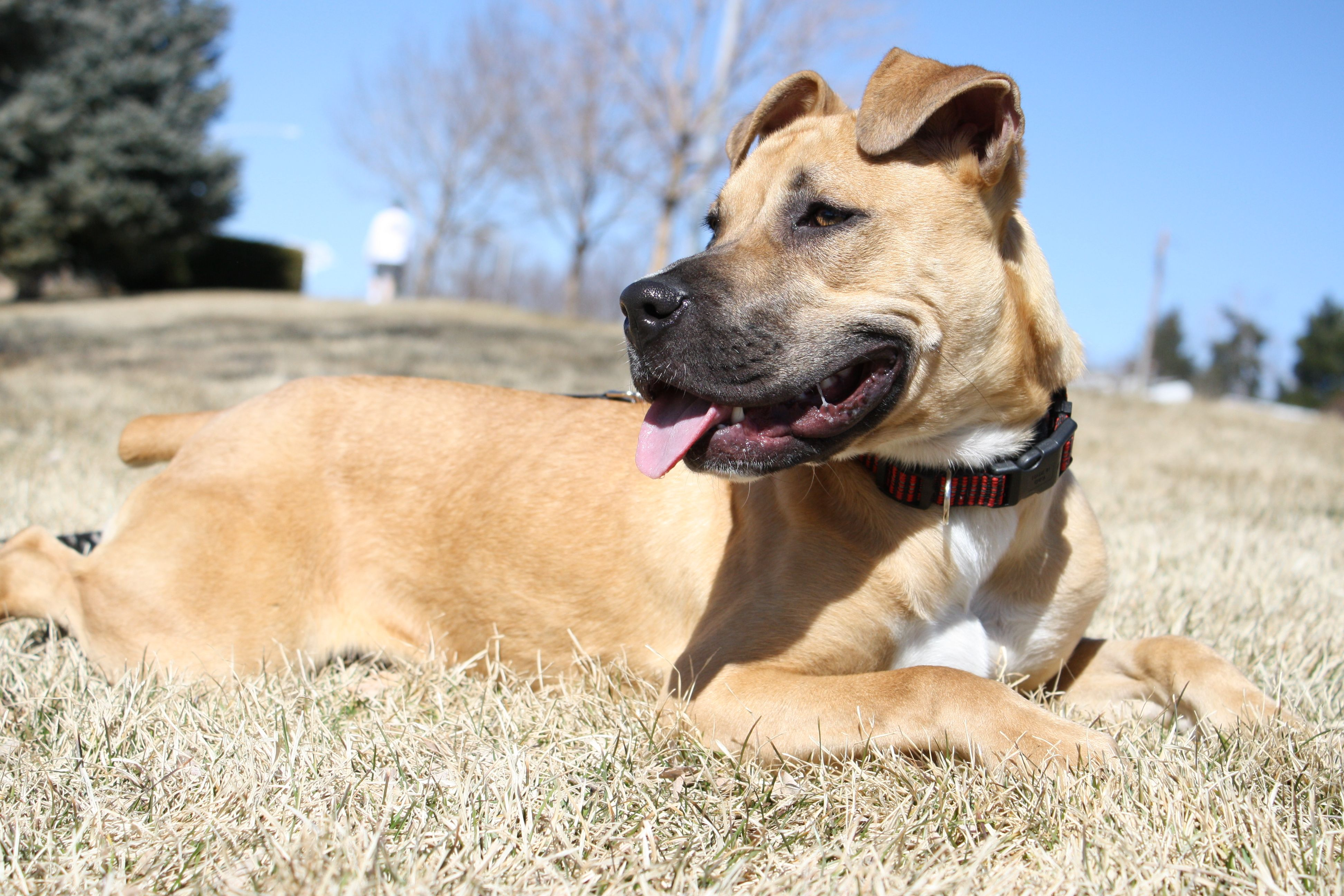 Red, a boxer mix! An adoptable dog in Broomfield, CO! www