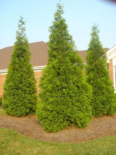 The Fastest Growing Quality Evergreen - The Thuja Green Giant ...