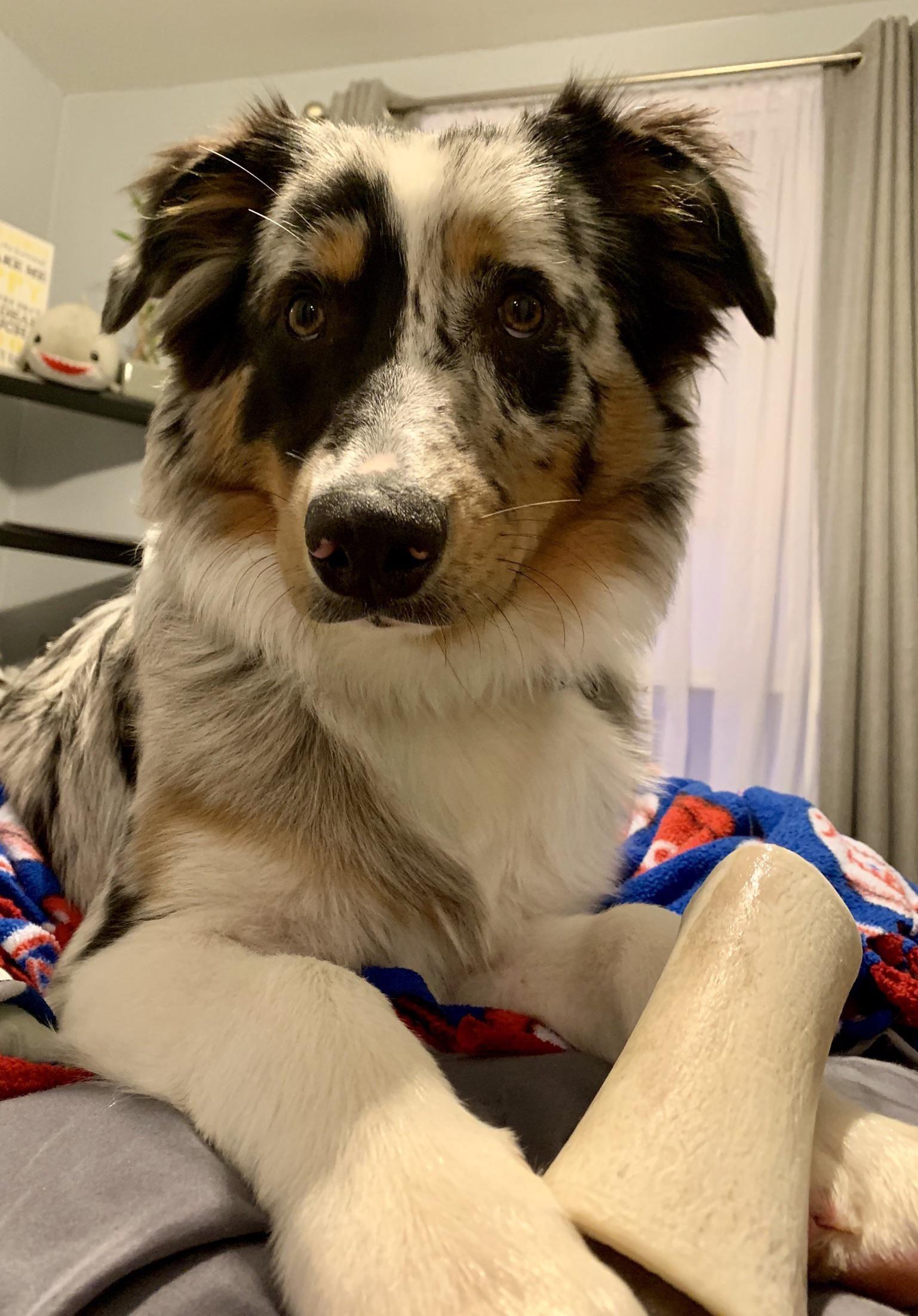 A Dog And His Bone Australianshepherd Australian Shepherd