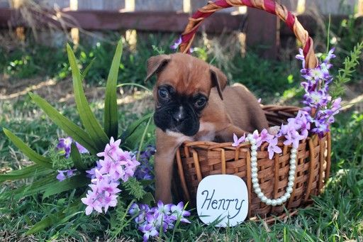 Litter Of 9 Boxer Puppies For Sale In Abilene Tx Adn 25076 On