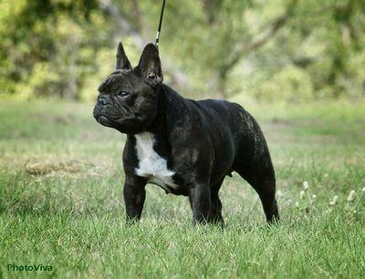 Shaunuff Hungarian Vizslas French Bulldogs Bulldog French