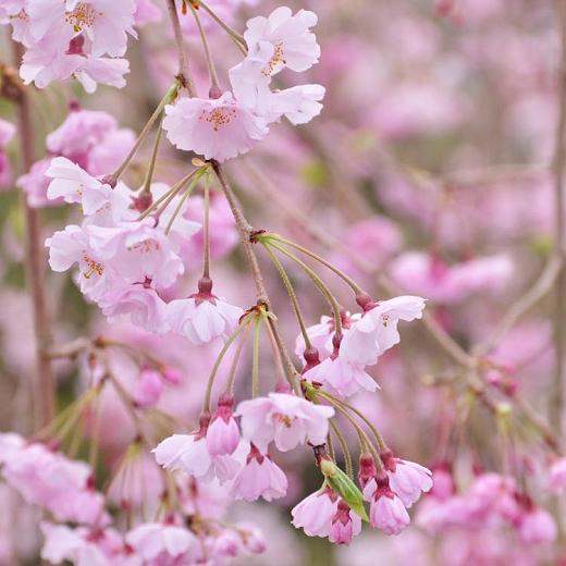 Prunus Pendula Pendula Plena Rosea Double Weeping Cherry Flowering Cherry Tree Ornamental Cherry Growing Peach Trees