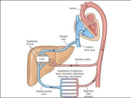 hepatic portal system | cat dissection hepatic portal vein | 510, Human body