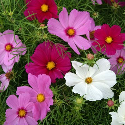 Cosmos Cutesy Mix Flower Seeds Packets Buy Seeds Cosmos