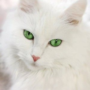 Green Eyed Fluffy White Cat Cat With Blue Eyes White Cats