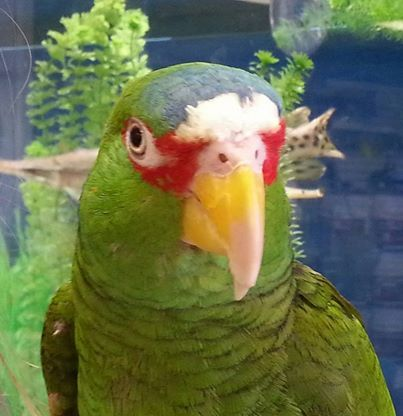 spectacled amazon parrot.