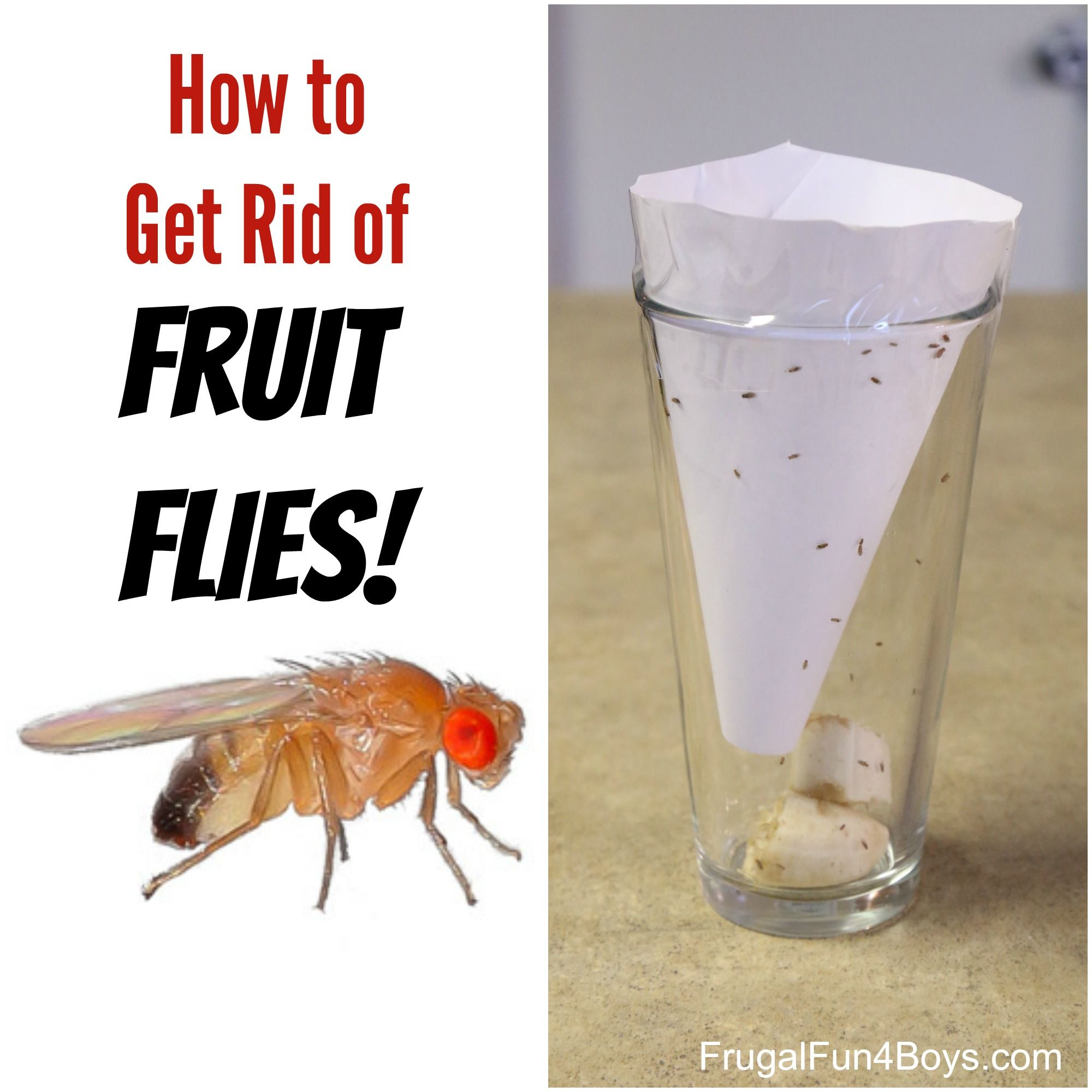How to get rid of fruit flies cuttings frugal and create