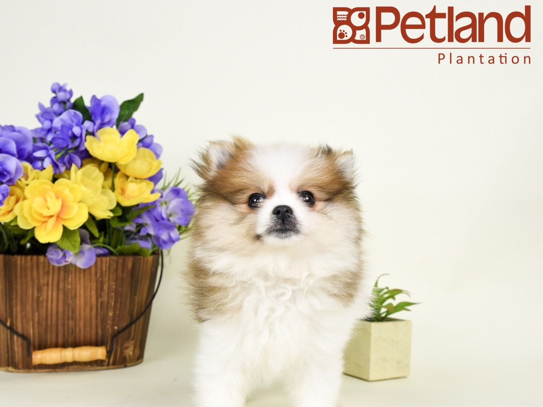 Petland Florida has Pomeranian puppies for sale