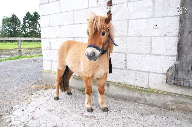 Mini Poney Shetland Animaux Nord Leboncoin Fr Animaux Animaux Mignons Shetland