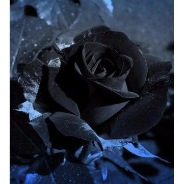 20 Black Rose Flower Rose2 Seeds Black Rose Flower Rose Seeds Black Rose
