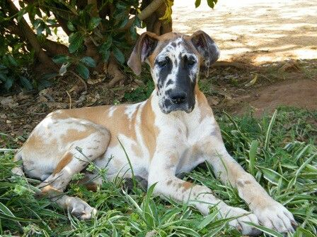El Diyuk S Lubricado My Fawnequin Great Dane As Puppy Great