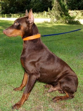 Dobies Red Doberman Puppies Georgia Doberman Breeder Black