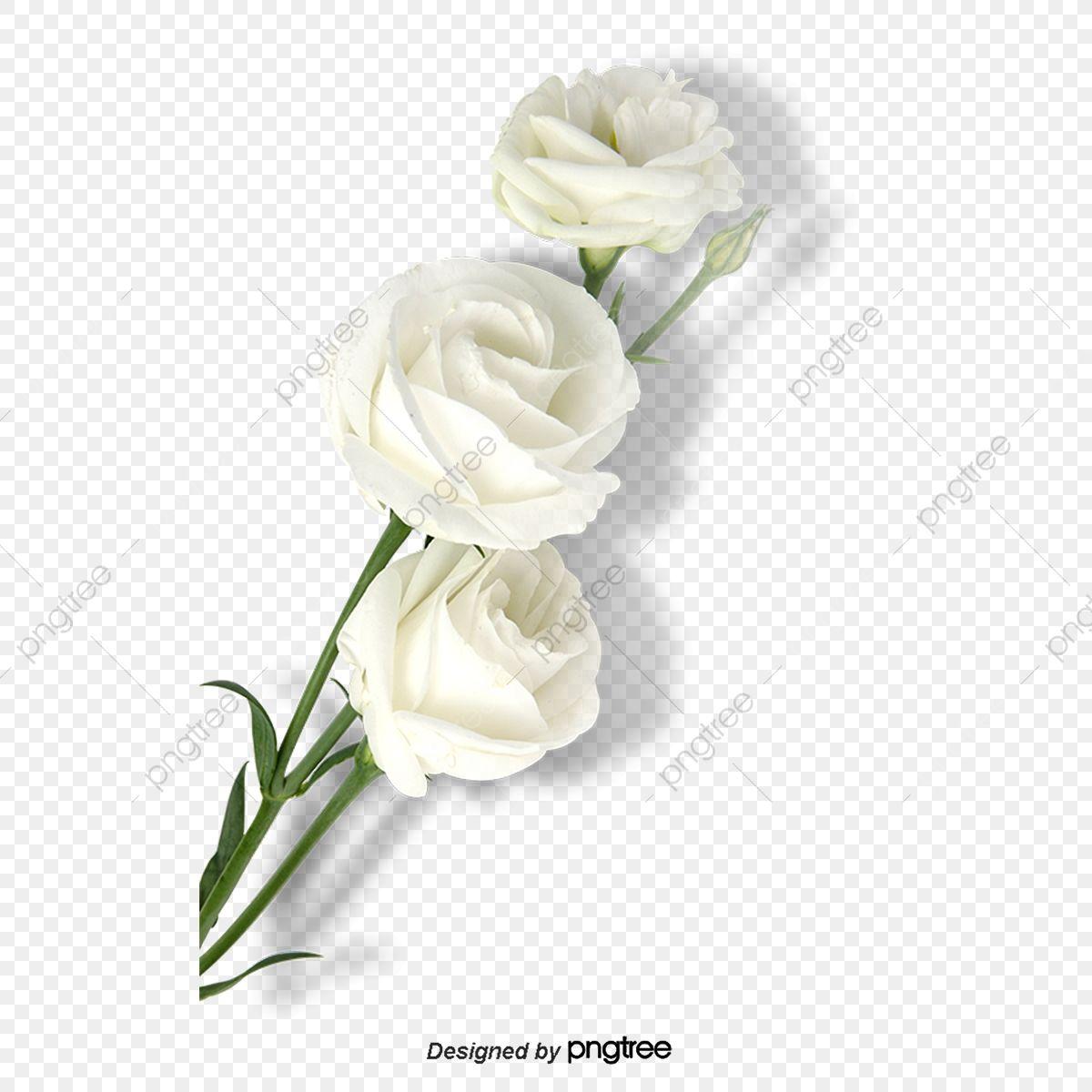 Elemento De Rosa Blanca Del Dia De San Valentin Clipart De Rosas Palido Suave Dia De San Valentin Png Y Psd Para Descargar Gratis Pngtree Rosas Blancas Rosas Flores Exoticas
