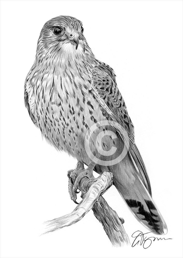 A4 sizes signed by artist bird KINGFISHER pencil drawing art print A3