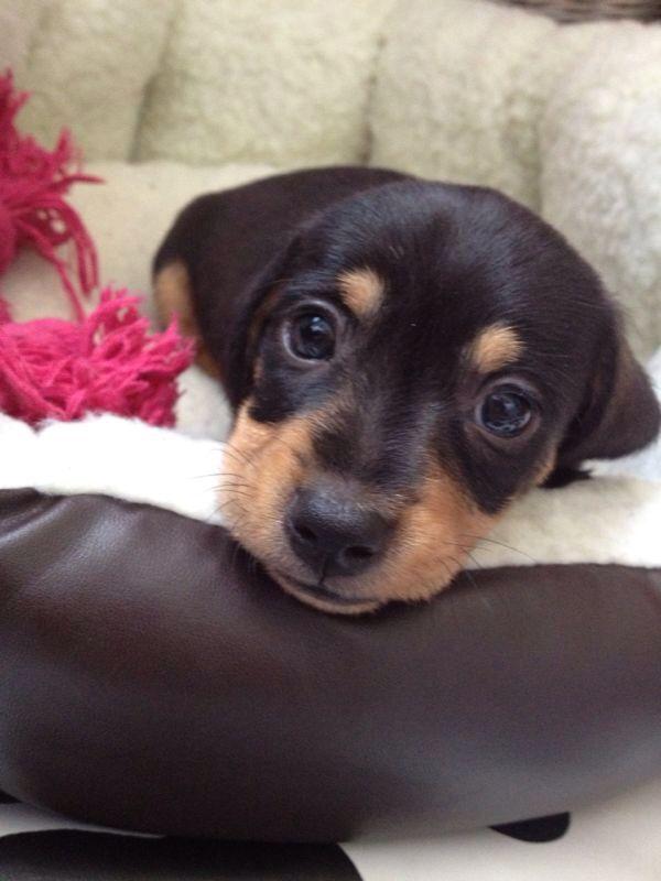 Perfect Puppy Dog Eyes My Little Cutie Link Dachshund Sausage