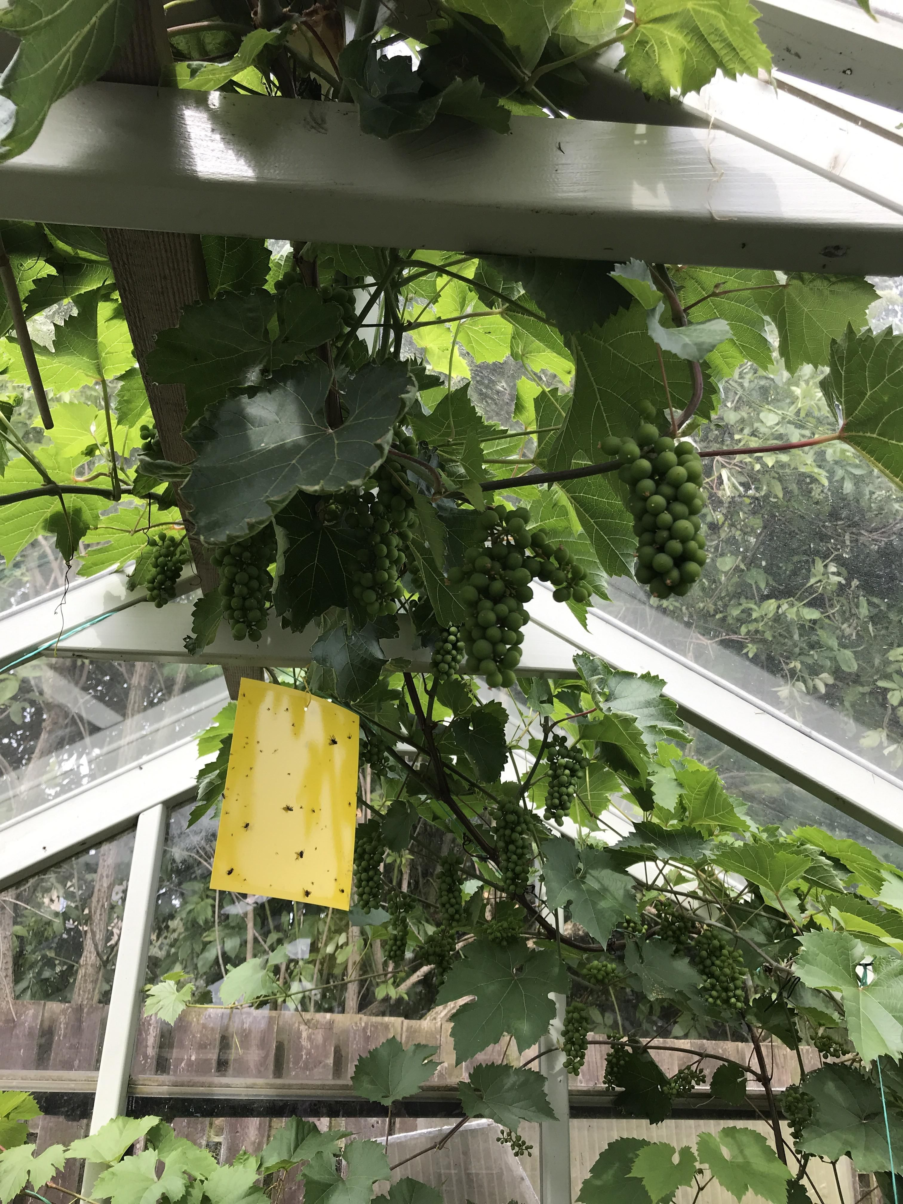 Grape Vine Routed Into Greenhouse 2 Years Ago Expecting To