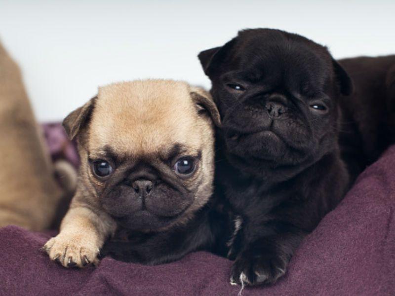 Pug Puppy For Sale In Leland Nc Adn 71588 On Puppyfinder Com