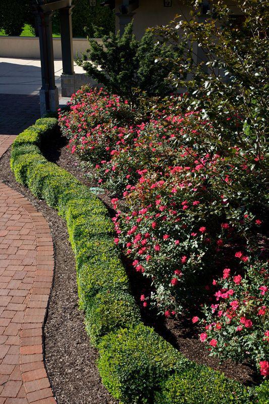 boxwood knockout roses | Landscaping | Pinterest | Knockout roses ...