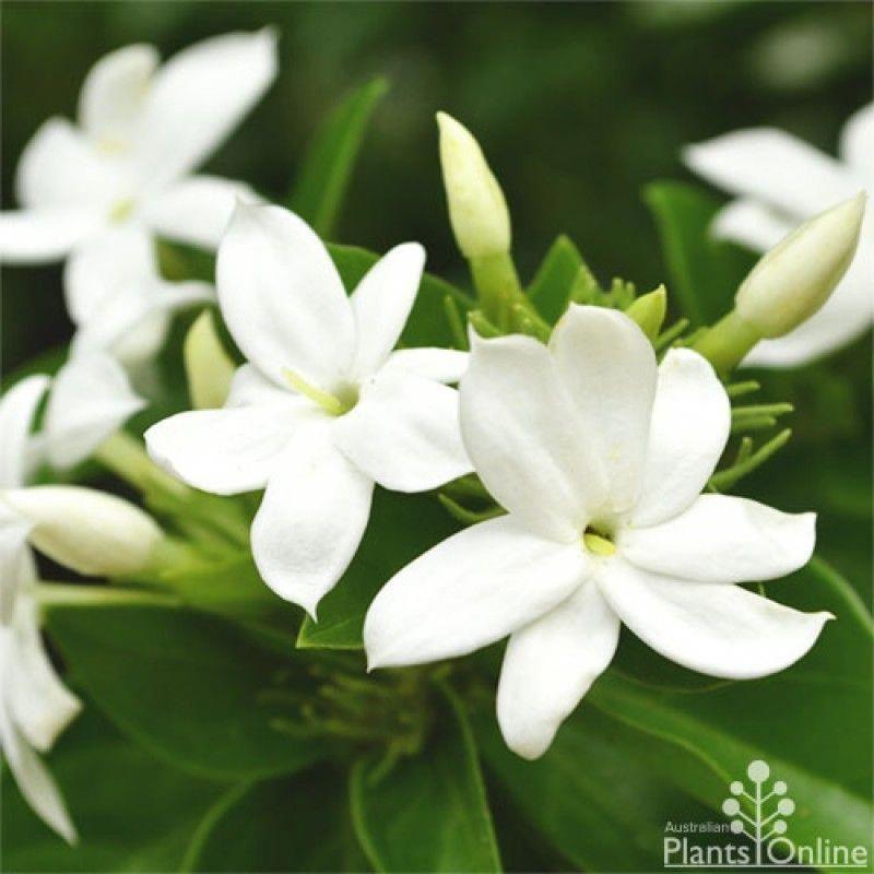 Bunga Melati Putih Or Arabian Jasmine Are Known As Bunga Suci Flowers Of Purity Similar With The White Color On The In Gambar Bunga Bunga Poster Bunga