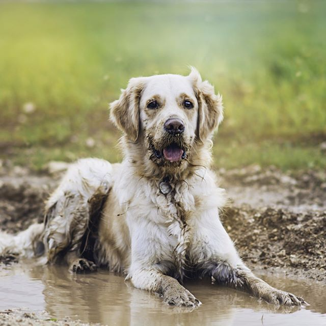Golden Retriever In Puddle Posted By Friendlygoldenretriever
