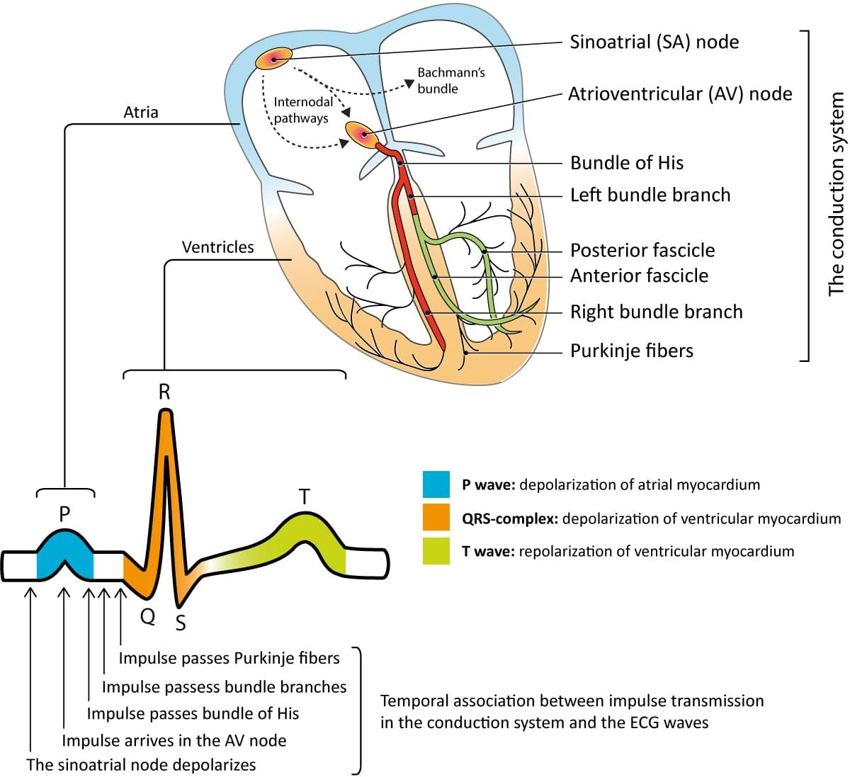 Cardiac action potential, electrical impulses, ECG waves & conduction system