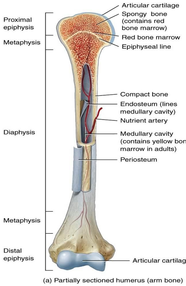 Basic bone terminology | MCAT Bio | Pinterest